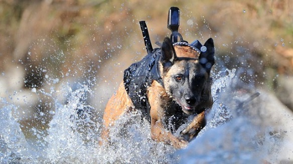 http://www.globalanimal.org/wp-content/uploads/2011/05/Belgiam-malinois-Soldier-dog-Military-Working-Dog-318x350.jpg