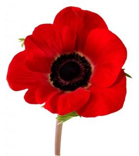 A Poppy~official flower for Veterans Day
