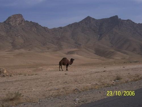 camel in afghanistan