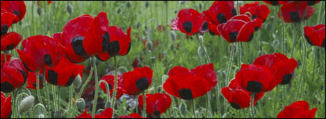 poppies~Lest we forget