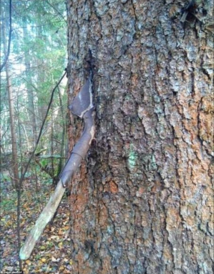 Marker: A sapper shovel with its corroded metal blade wedged firmly in a tree and its rotting wooden handle sticking out